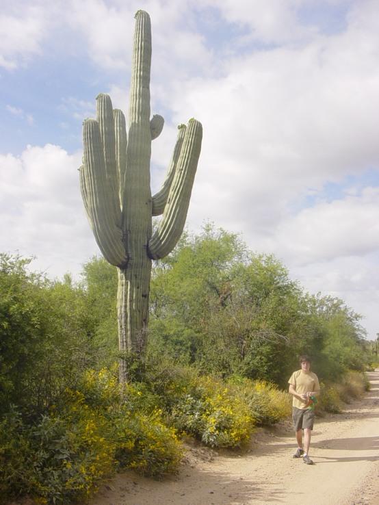 Saguaro Cacti Specimen