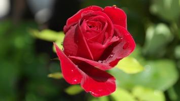 rose-402671_1920